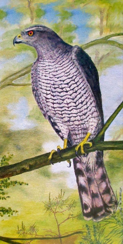 Sperwer - Accipiter nisus