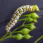 rups HelmkruidvlinderCucullia scrophulariae