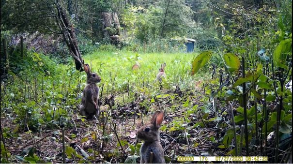konijnen op wildcamera