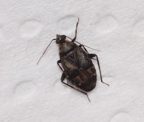 Zwarte walstrowantsPolymerus nigrita