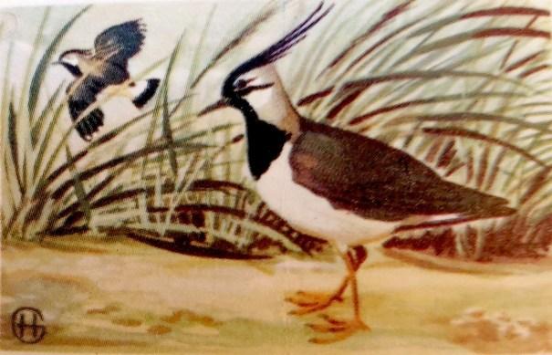 Kievit - Vanellus vanellus