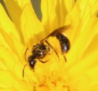 Ranonkelbij (Chelostoma florisomne)