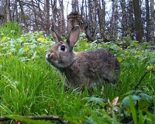 Europees konijn (Oryctolagus cuniculus)