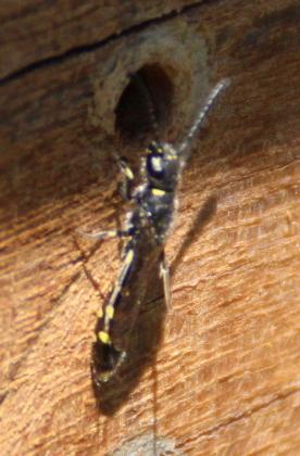 Gewone knotswesp Sapyga clavicornis