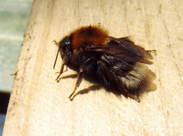 Boomhommel(Bombus hypnorum)