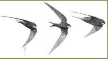 tekening zwaluwen