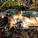 IJsvogel Alcedo atthis – onderkantder[1]