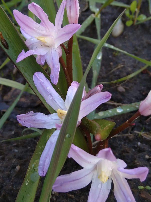 Middelste sneeuwroem (Scilla luciliae)