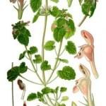 Paarse dovenetel (Lamium purpureum)