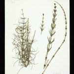 Bastaardpaardenstaart (Equisetum x litorale)