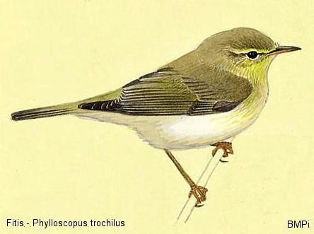 Fitis (Phylloscopus trochilus)