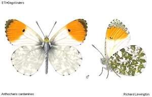 Oranjetip (Anthocharis cardamines)
