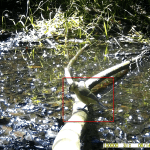 14 juni 2021: Pimpelmees jong (Cyanistes caeruleus)