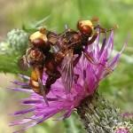 Roestbruine kromlijf (Sicus ferrugineus)