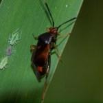 Rode halsbandwants Deraeocoris ruber  Foto: Will van Berkel