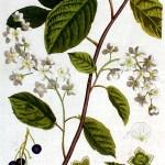 Gewone vogelkers, Prunus padus