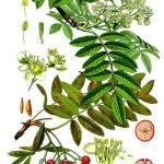 wilde lijsterbes ( Sorbus aucuparia)