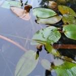 Drijvend fonteinkruid  (Potamogeton natans)