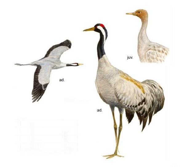 Kraanvogel (Grus grus)