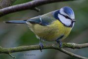 Doe mee aan de Tuinvogeltelling op 28 of 29 januari.
