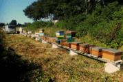 Vitale bijen gedijen goed aan de monding van de Eem