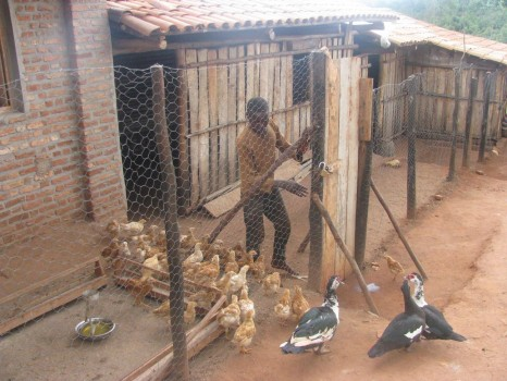 Ducks and chickens in the Green Village