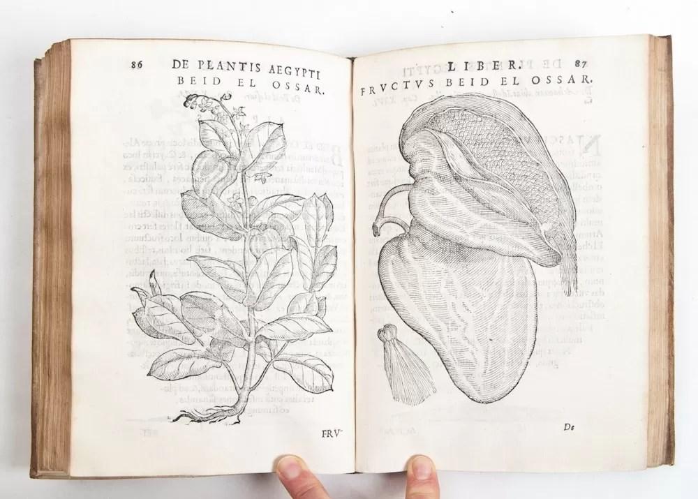 diffusione del caffe in italia de plantis aegypti prospero alpino