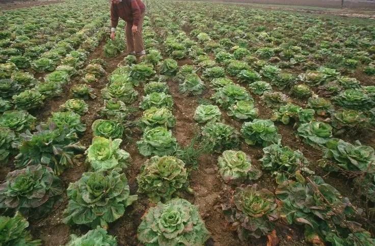 campo di radicchio variegato di Castelfranco