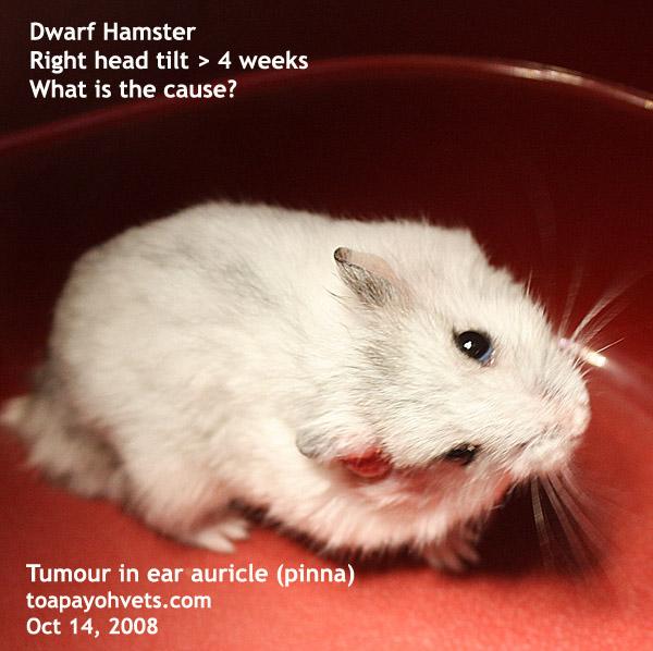 dwerghamster tumor in oor