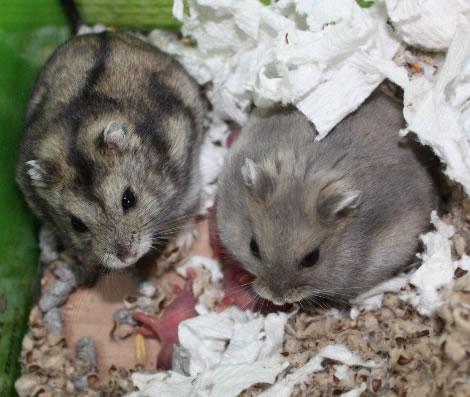 Dwerghamster ouders met nestje