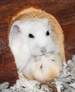 papa hamster met jong tijdens de voortplanting