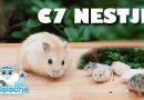 russische dwerghamster jongen c7 nestje