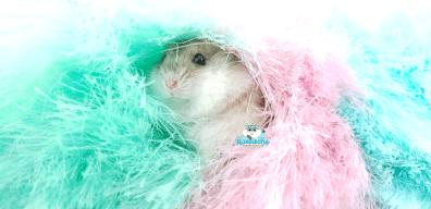 plumo-hamster