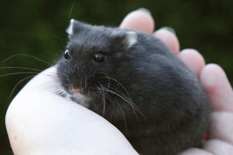 trillende zwarte hamster
