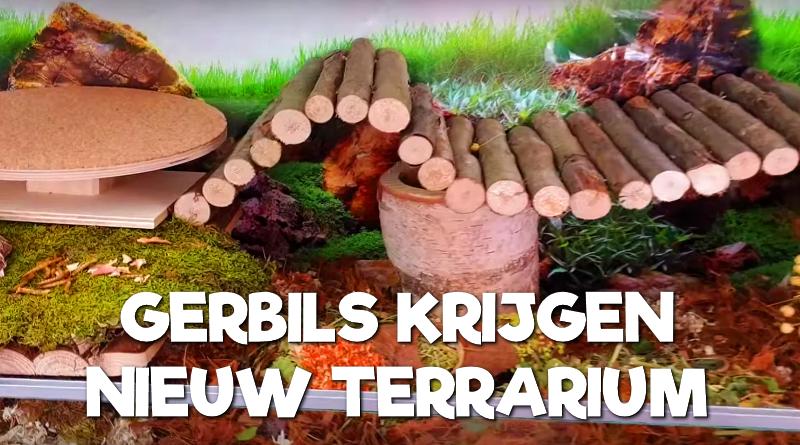 Gerbils krijgen een nieuw terrarium