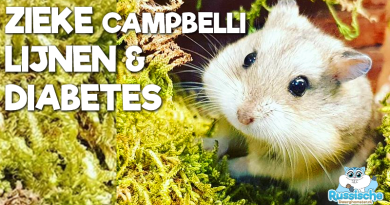 campbelli dwerghamster diabetes