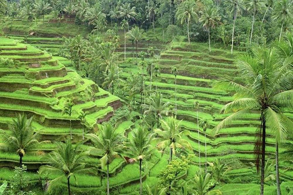 Land Rover Amazing Race Desa Penglipuran Bali - Rice Terrace