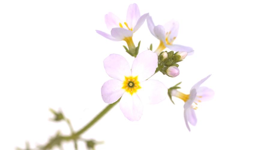 Resultado de imagen de violeta de agua