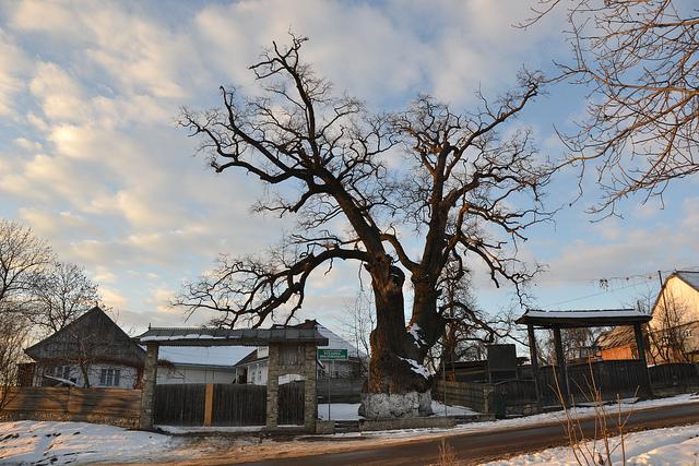 stejarul din cajvana