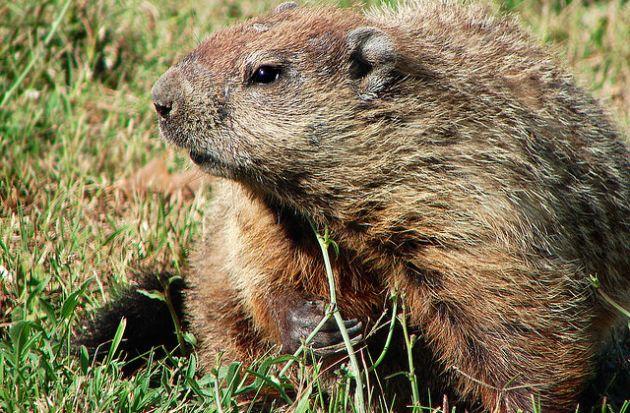 Las-11-tradiciones-dia-de-la-marmota1