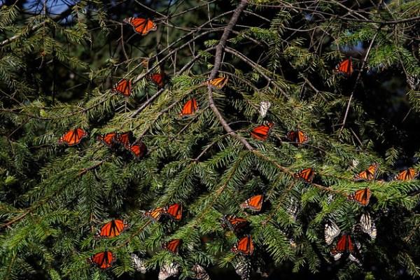Mariposas Monarcas Michoacan