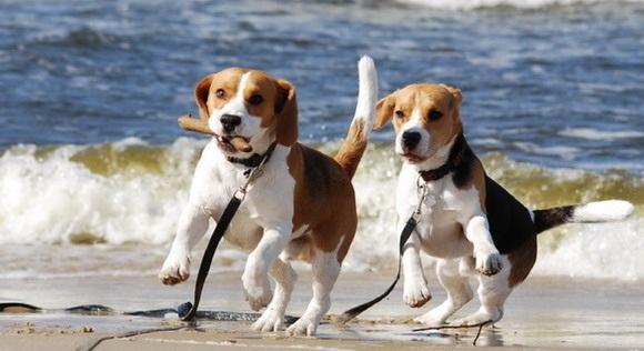 Es falso afirmar que los perros de razas puras no son sanos