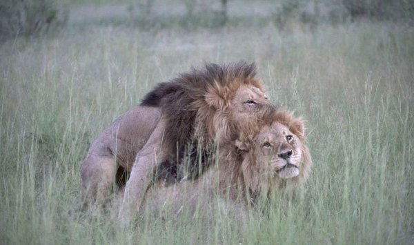 animales-homosexuales