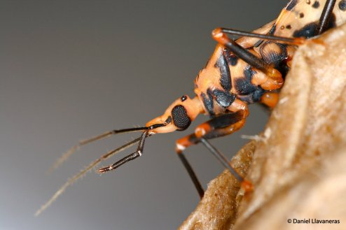 'Panstrogylus geniculatus'
