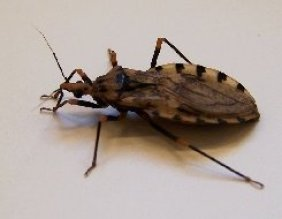 insecto chipo