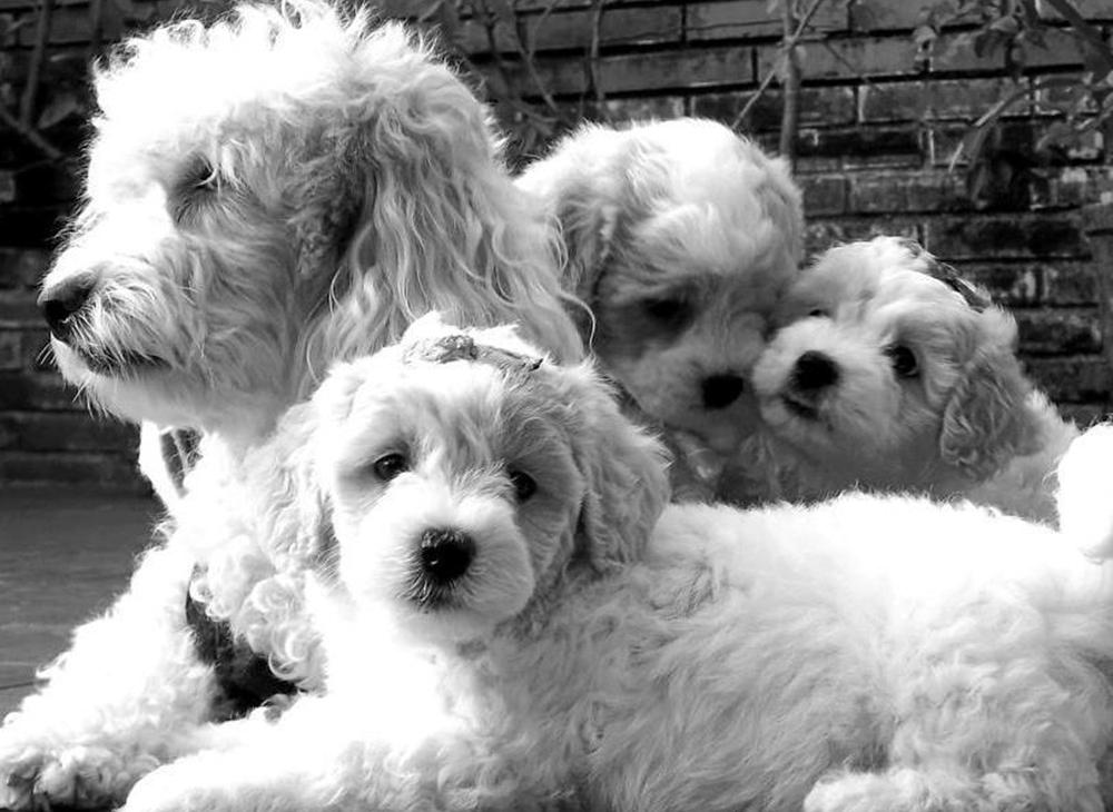 cachorros-milu-