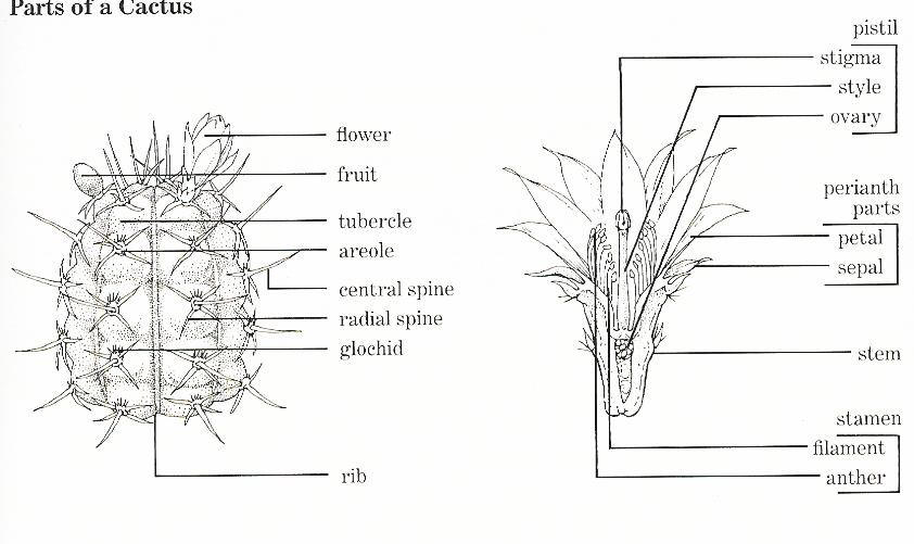 Parts Of A Cactus Labeled Diagrams - Electrical Wiring Diagram House •
