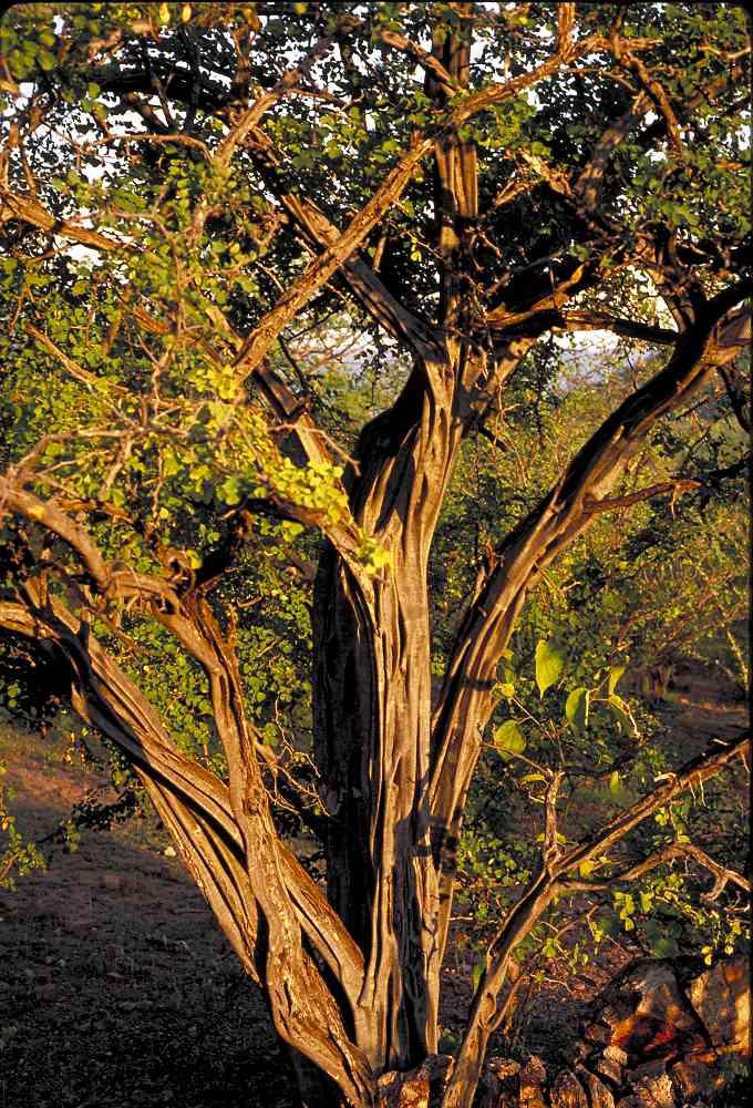 Alamos Trees Haematoxylon Brasiletto
