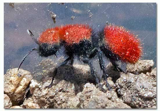Red Velvet Ant Dasymutilla Female