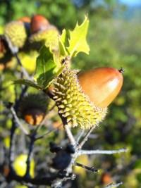 Le miel de metcalfa